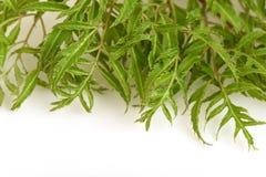 Ming aralia (Polyscias fruticosa Harms.). Ming aralia, a medicinal herb of Thailand Royalty Free Stock Image
