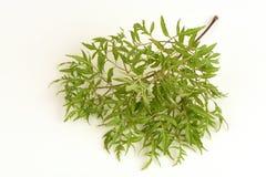 Ming aralia (Polyscias fruticosa Harms.). Ming aralia, a medicinal herb of Thailand Royalty Free Stock Images