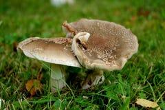 Mingling Mushrooms Royalty Free Stock Photo