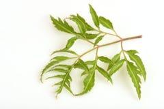 Mingsaralia (Polyscias-fruticosakwaad ) royalty-vrije stock afbeelding