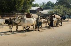 Mingun cow Taxi, Myanmar Stock Photos