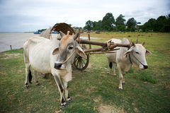 Mingun Taxi, Myanmar. This cattle cart is a tourist taxi in Mingun, Myanmar Stock Photo