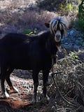 Minha cabra favorita Fotografia de Stock Royalty Free