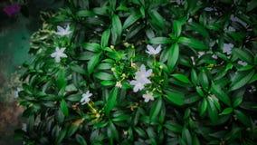 Minha flor bonita e fértil do jasmim fotografia de stock