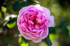 Minha flor favorita é cor-de-rosa aumentou em um dia claro fotografia de stock royalty free