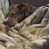 Minha noz-moscada do cão Imagens de Stock