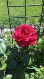 Minhas rosas Imagem de Stock Royalty Free