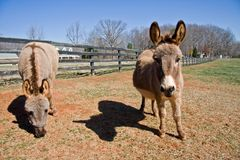 Mini ânes image libre de droits