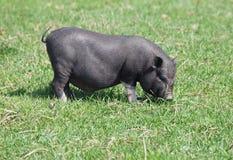 Mini świnia na paśniku Zdjęcia Royalty Free