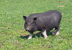 Mini świnia na paśniku Fotografia Stock