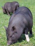 mini świnie na paśniku Obrazy Stock