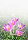 Mini açafrões cor-de-rosa da primavera Fotos de Stock Royalty Free