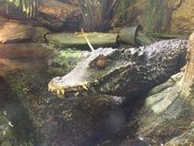 Mini Alligator che riposa accanto al rettile dell'acqua che dorme su una roccia al sole fotografia stock