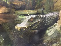 Mini Alligator resting next to water reptile sleeping on a rock in the sun stock photo