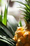 Mini ananas roślina, dekoracyjny żółty piękno obraz stock