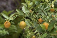 Mini- apelsin på träd Arkivfoto