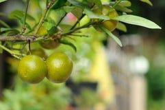 Mini- apelsiner i trädgård, Kumquats Fotografering för Bildbyråer