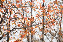 Mini apple tree branch with fruits. Small orange Chinese apples Malus prunifolia. Soft focus, shallow depth of field. Mini apple tree branch with fruits. Small Stock Photography
