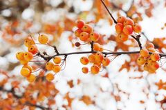 Mini apple tree branch with fruits. Small orange Chinese apples Malus prunifolia. Soft focus, shallow depth of field. Mini apple tree branch with fruits. Small Stock Images
