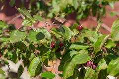 Mini apples tree. In the garden in summer Stock Images