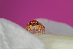 Mini araignée Photo libre de droits