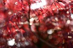 Mini arce adornado con los colores rojizos bañados en rocío cepillado y sol-encendidos imagen de archivo