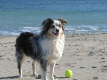 Dog On The Beach With Tennis Ball Royalty Free Stock Photos