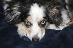 Blue Eyed Dog On A Blue Blanket Royalty Free Stock Photo