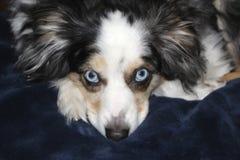 Blue Eyed Dog On A Blue Blanket Royalty Free Stock Photo