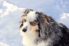 Miniature American Shepherd In The Snow. Blue Eyed Miniature American Australian Shepherd In The Snow stock photos