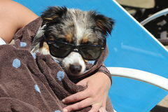 Dog With Sunglasses Royalty Free Stock Photos
