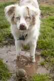 Mini-Aussie in the Mud. An Aussie puts her ball in the muddy puddle Stock Images