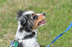 Mini aussie puppy. A tri colored mini australian shepherd in profile against green grass with a blue leash Stock Photo