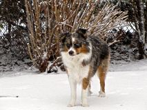 Miniature American Shepherd. In The Snow stock photo