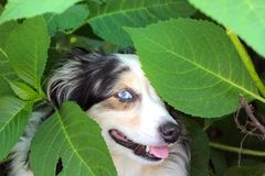 Mini Australian Shepherd Foto de Stock Royalty Free