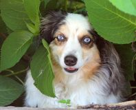 Australian Shepherd Hiding In The Leaves Royalty Free Stock Photography