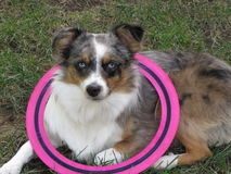 Australian Shepherd Wearing A Pink Frisbee Stock Photography
