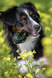 Mini Australian shepherd dog Stock Photos