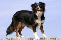 Mini Australian shepherd dog Royalty Free Stock Photo