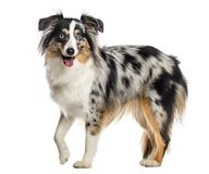 Mini Australian Shepherd, standing and panting (1 year old), iso. Lated on white Royalty Free Stock Photo