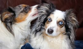 Mini Australian Shepherds Foto de Stock