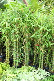 Mini bamboo tree in garden Royalty Free Stock Photos