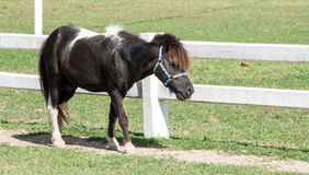 Mini black dwarf horse at a farm Stock Photo