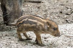 Mini boar piglet. Mini piglet in a wildpark Royalty Free Stock Photography