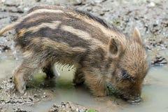 Mini boar piglet Stock Images