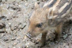 Mini boar piglet Stock Image