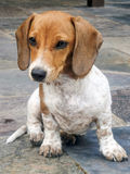 Mini brown and white dachshund puppy Royalty Free Stock Images