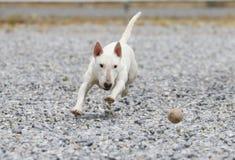 Mini bull terrier bianco che insegue una palla Immagini Stock