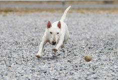 Mini bull-terrier blanc chassant une boule Images stock