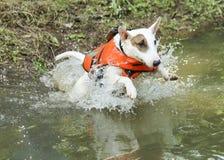 Mini bull terrier que salta en The Creek fotografía de archivo